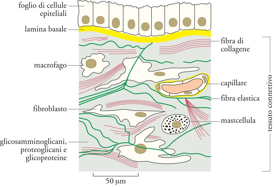 Cellula matrice extracellulare in enciclopedia della scienza e della tecnica - Che forma hanno le cellule dei diversi tessuti ...