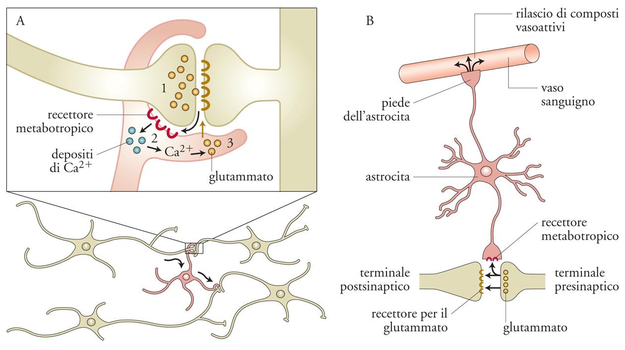 attivazione recettori steroidei
