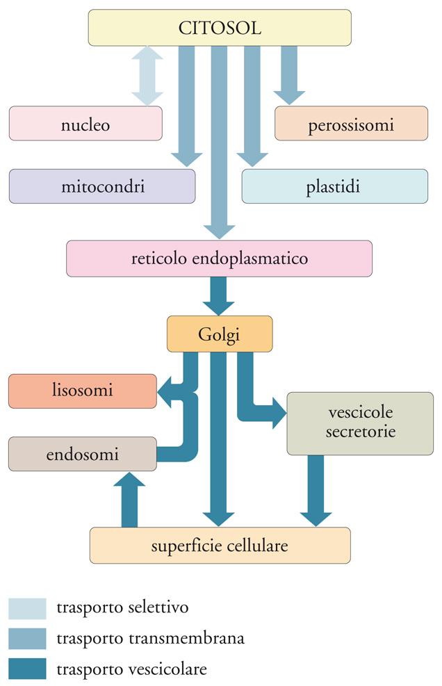 regolazione espressione genica ormoni steroidei