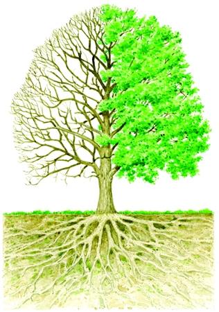 Alberi in enciclopedia dei ragazzi for Chioma albero
