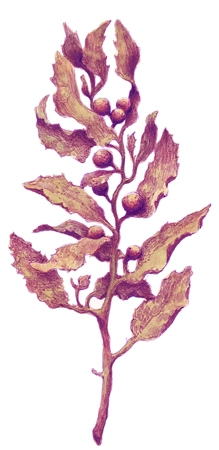 Alghe In Enciclopedia Dei Ragazzi
