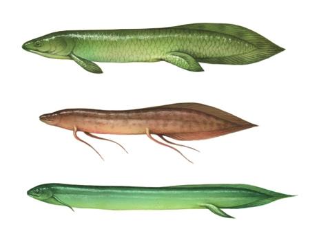 Dipnoi e altri pesci con i polmoni in enciclopedia dei for Pesci con la e