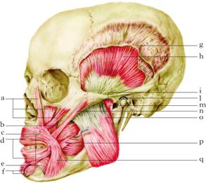 Masticazione In Dizionario Di Medicina