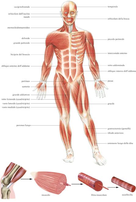 Muscolo In Dizionario Di Medicina