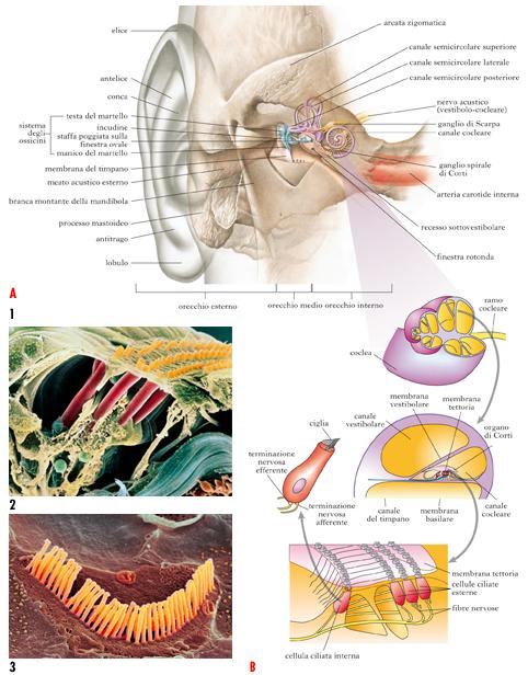 Orecchio In Dizionario Di Medicina