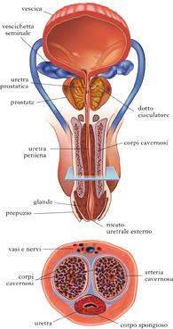 Vitamina il pene crescente