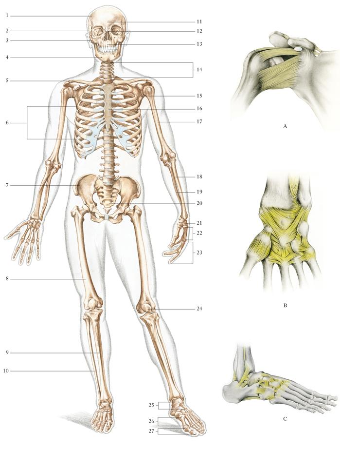 Quello che è un cambiamento di compressione di reparto di petto di una spina dorsale la 6a vertebra