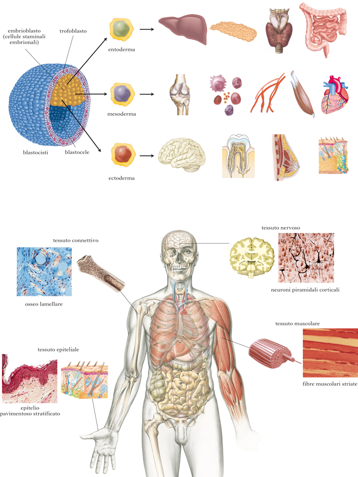 Tessuto in dizionario di medicina - Che forma hanno le cellule dei diversi tessuti ...