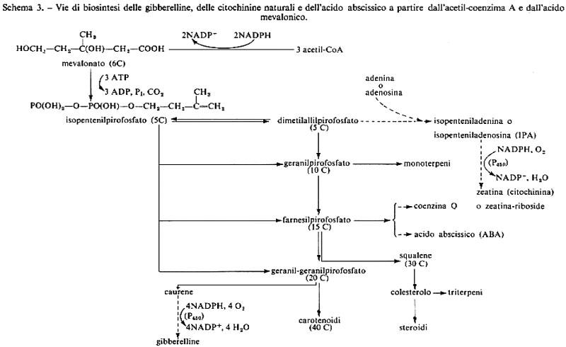 schema sintesi ormoni steroidei