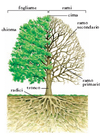 Albero nell 39 enciclopedia treccani for Chioma albero