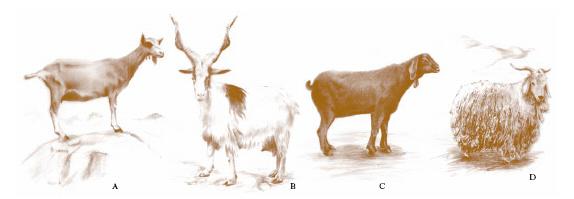 Capra nell 39 enciclopedia treccani - Immagini da colorare capra ...