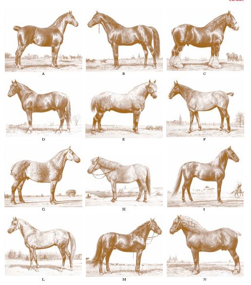 Risultati immagini per tipi morfologici equini