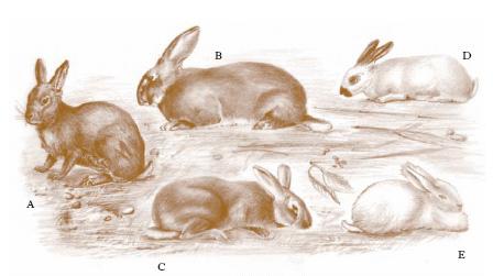 nome derivato da coniglio