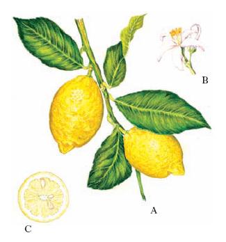 Limone Nellenciclopedia Treccani