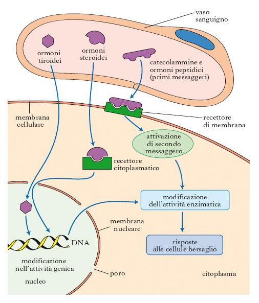 recettori degli ormoni steroidei