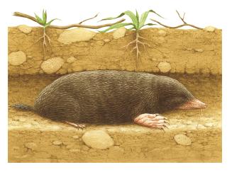 Talpa nell 39 enciclopedia treccani for Talpa mammifero