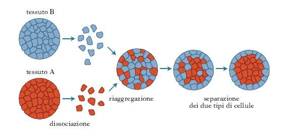 Tessuto nell 39 enciclopedia treccani - Che forma hanno le cellule dei diversi tessuti ...