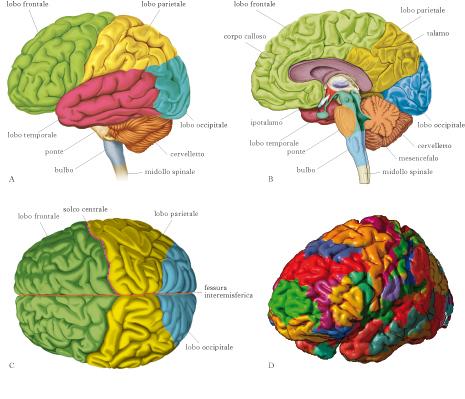 the latest 06515 384d5 cervello, struttura e funzione del in